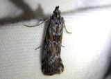 5812 - Telethusia ovalis; Pyralid  Moth species