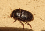 Euryderus grossus; Ground Beetle species
