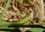 Aptenopedes sphenarioides; Linear-winged Grasshopper; male