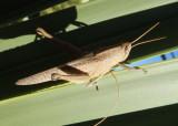 Schistocerca damnifica; Mischievous Bird Grasshopper