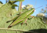 Aptenopedes sphenarioides; Linear-winged Grasshopper; female