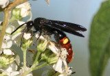 Scolia dubia; Blue-winged Wasp