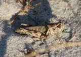 Melanoplinae Spur-throated Grasshopper species
