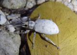 Myllocerus undecimpustulatus; Sri Lanka Weevil; exotic