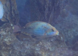 Redband Parrotfish; initial phase