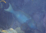 Redtail Parrotfish; terminal phase