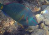 Stoplight Parrotfish; terminal phase