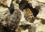 Fuzzy Chitons