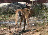 Key Deer; buck