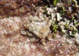 Speck-Claw Decorator Crab