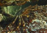 Nimble Spray Crab