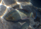 Rainbow Parrotfish; initial phase