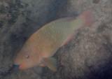 Rainbow Parrotfish; intermediate phase