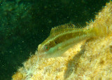 Redband Parrotfish; juvenile