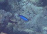 Blue Chromis