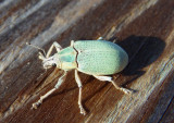 Pachnaeus litus; Blue-green Citrus Root Weevil