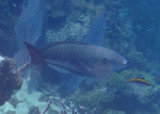 Queen Parrotfish; initial phase
