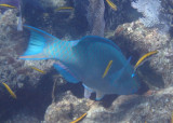 Queen Parrotfish; terminal phase