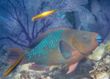 Rainbow Parrotfish; terminal phase