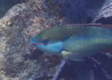 Redband Parrotfish; terminal phase
