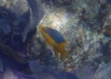 Spanish Hogfish; juvenile