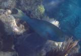 Yellowtail Parrotfish; terminal phase