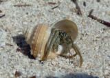 Striped Hermit Crab inhabiting Chestnut Turban shell