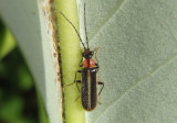 Rhagonycha Soldier Beetle species