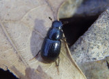 Aphodius badipes; Aphodiine Dung Beetle species