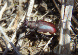 Cicindela scutellaris lecontei; Festive Tiger Beetle