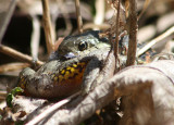 Common Garter Snake eating Gray/Cope's Tree Frog