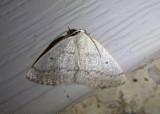 6668 - Lomographa glomeraria; Gray Spring Moth