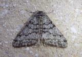 6659 - Phigalia denticulata; Toothed Phigalia