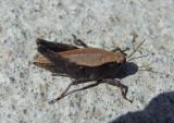 Tettigidea lateralis; Black-sided Pygmy Grasshopper