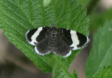 7430 - Trichodezia albovittata; White-striped Black