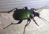Calosoma scrutator; Fiery Searcher