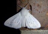 8134 - Spilosoma congrua; Agreeable Tiger Moth