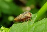 Cyrtolobus pulchellus; Treehopper species