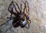 Meta ovalis; Cave Orb Weaver species