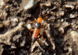 Paederus Rove Beetle species