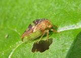 Cyrtolobus fenestratus; Treehopper species