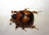 Bolbocerosoma bruneri; Earth-boring Scarab Beetle species