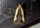 2297 - Dichomeris inserrata; Indented Dichomeris Moth