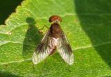 Chrysopilus quadratus; Snipe Fly species; male