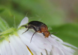 Mordellistena cervicalis; Tumbling Flower Beetle species