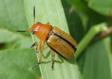 Anomoea laticlavia; Clay-colored Leaf Beetle
