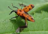Rhodobaenus tredecimpunctatus; Ironweed Curculio