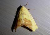 6912 - Sicya macularia; Sharp-lined Yellow