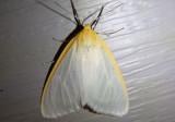 8230 - Cycnia tenera; Delicate Cycnia