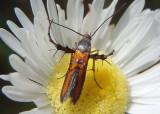2505 - Aetole tripunctella; Sun Moth species